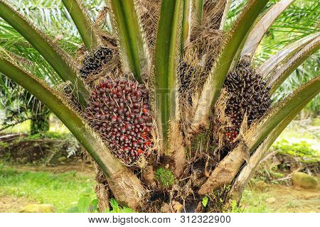 Close View Of Oil Palm Tree Top With Fruit. Palm Oil Cultivation Has Been Criticized For Impacts On