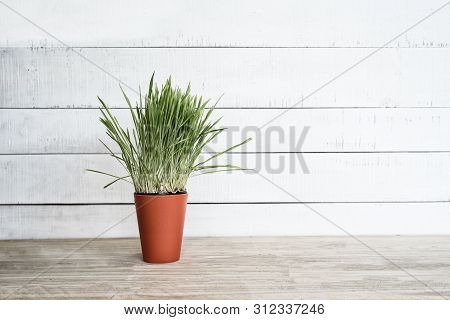 Orange Flower Pot With Greens On The Table Stands On A White Wooden Wall Background. Copy Space.