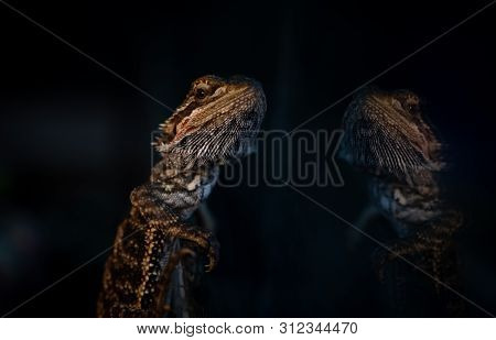 The Eastern Bearded Dragon Lizard Glass Reflection Nature Close Up Portrait Wild Life Reptile
