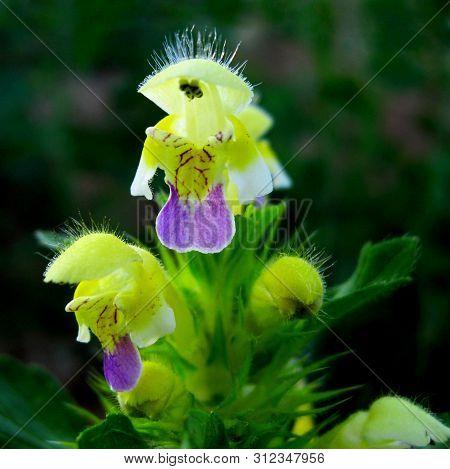 Galeopsis Speciosa (hemp Nettle Or Edmonton Hempnettle) Species Of Annual Herbaceous Plants In Famil