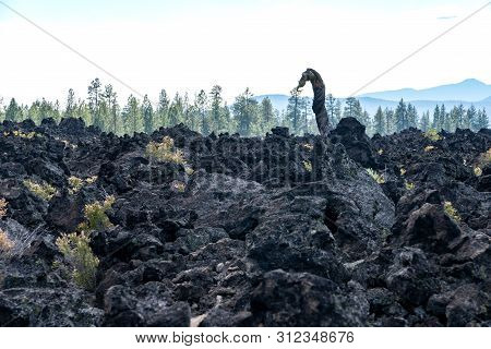 Famous Lava Ness Monster Twisted Tree In Newberry National Volcanic Monument In Central Oregon