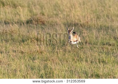Thomsons Gazelle leaps the the long grass of the Masai Mara, Kenya. This is a young female.