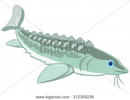 Valuable Fish Sturgeon On White Background Is Insulated