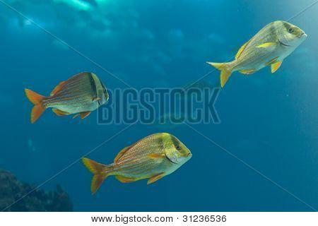 Fishes swiming in blue waters of Lisbon Oceanarium