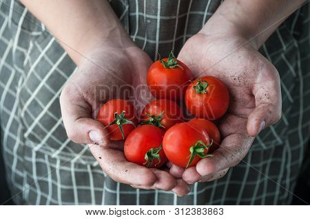 Tomatoes In The Hands Stained In The Ground
