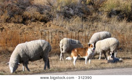 poster of sheep dogs and sheep