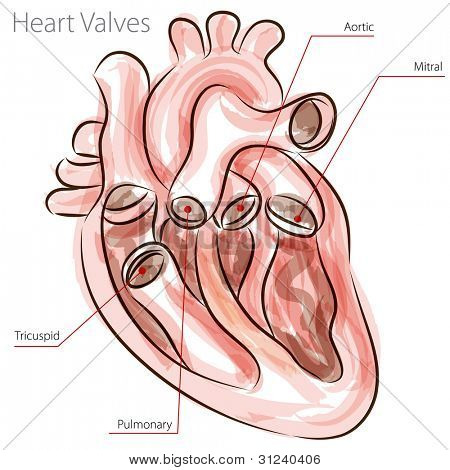 An image of a heart valves watercolor chart.