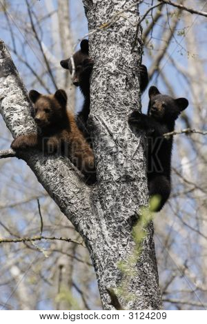 Three black bear cubs rest in a tree in norhtern Minnesota poster