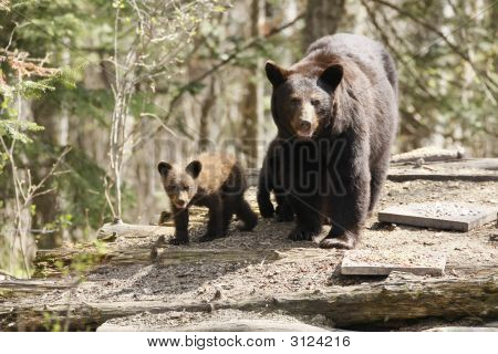 Black Bear With Cubs on a Wood Pile