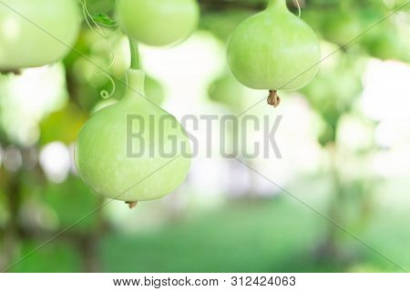 Close Up Green Bottle Gourd Or Calabash Gourd On Branch, Selective Focus