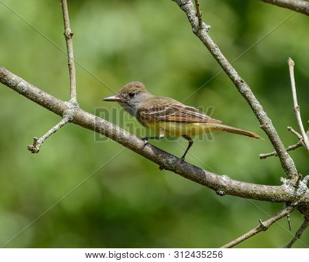 A Great Crested Flycatcher (myiarchus Crinitus), A Migratory Songbird, Perched In A Tree, Facing Lef