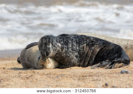 Togetherness. Animals in love cuddling. Affectionate seals hugging. Best friends forever. Non-human emotion. Pair of bonding mammals in a loving embrace. Cute animal relationship meme image. poster