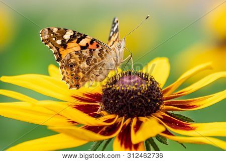 Butterfly Vanessa Cardui Sits On A Yellow Flower And Drinks Nectar With Its Proboscis. Painted Lady