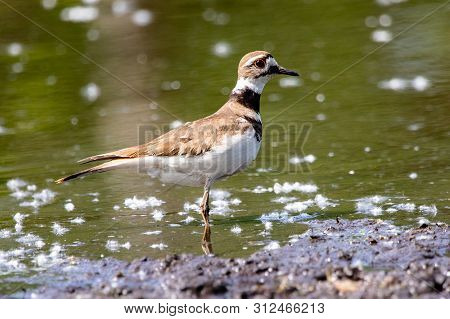 Fauna Birds Shorebirds Plover Killdeer Charadrius Vociferus Pond Background