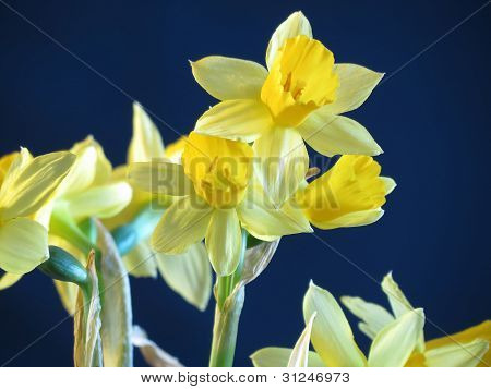 Narcissus jonquilla (Jonquil)