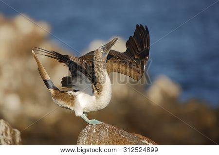 Blue-footed Booby (sula Nebouxii) Spreading Its Wings During Courtship Display - North Seymour Islan