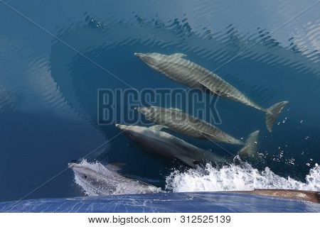 Common Dolphins Swimming In The Wake Of A Cruise Ship's Bow
