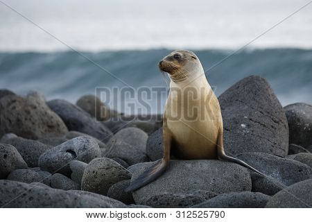 Galapagos Sea Lion (zalophus Wollebaeki) Perched On A Rocky Coastline - North Seymour Island, Galapa