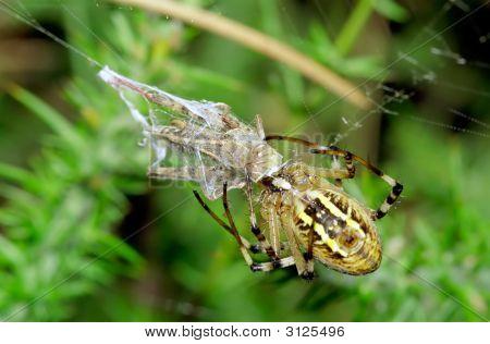 Wasp Spider Preying At Grasshopper.