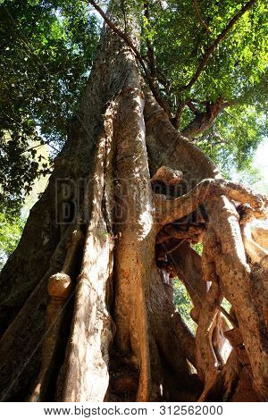 The Lower Part Of The Tree Trunk With Huge, Monstrous Roots. The Trunk Of A Huge Tropical Tree.