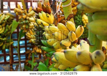 many bunch of growing ripe bananas, Musa acuminata Colla poster