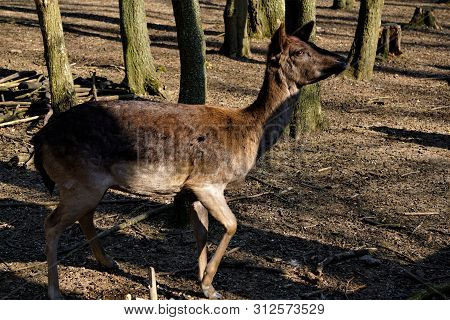 Female Fellow Deer In The Forest Looking Interested