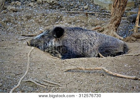 A Wild Boar Lying In A Dry Wallow In The Forest