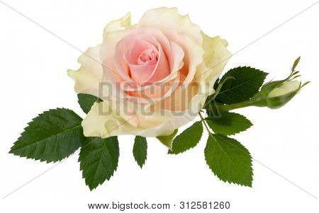 Pink rose isolated on white background closeup. Rose flower head in air, without shadow. Top view, flat lay.