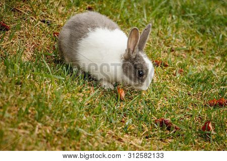 Domestic Rabbit Living Wild In Town Of Canmore, Canada