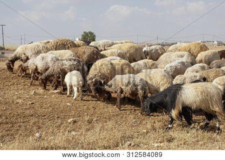 Brown Sheep In Jordan Eating Dried Grass
