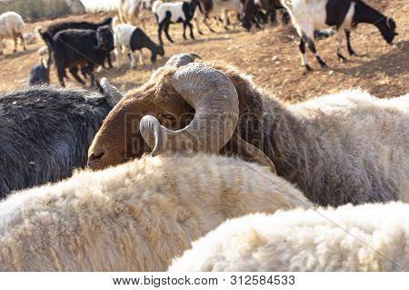 Head Of Brown Sheep In Jordan Eating Dried Grass