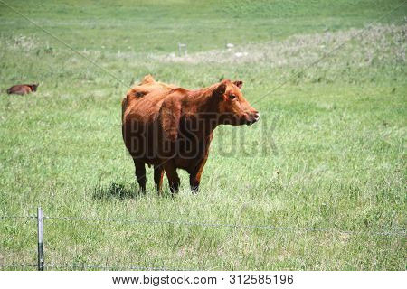 A Cow Standing Out In The In The Pasture Looking Over Her Environment.