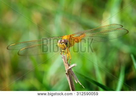 Yellow Golden Dragonfly With Green Background.