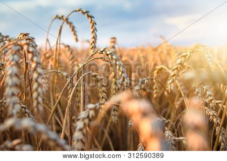 Wheat Ears In Bright Sunlight On Agriculture Field. Harvesting Season. Wheat Spikes On Sunny Evening