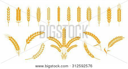 Wheat And Rye Ears. Barley Rice Grains And Elements For Beer Logo Or Organic Agricultural Food. Vect