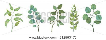 Eucalyptus Plants. Rustic Foliage Branches And Leaves For Wedding Invitation Cards, Decorative Herbs