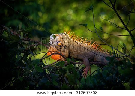 Green Iguana - Iguana Iguana  Also Known As The American Iguana, Is A Large, Arboreal, Mostly Herbiv