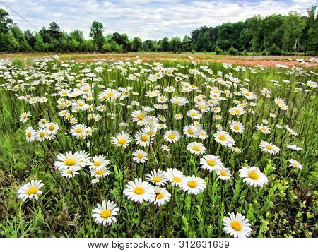 Ox-eyed Daisy White Wildflowers with Yellow Center Growing in Limestone County Alabama USA