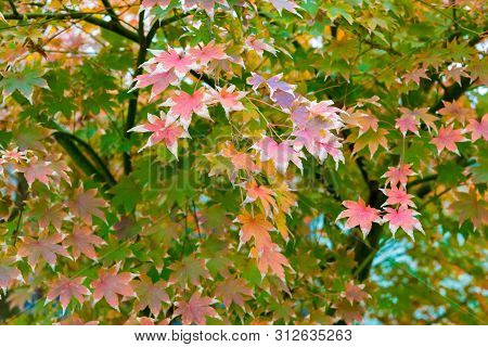Maple Tree With Red Leaves In Autumn, Nature Background