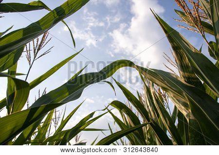 Corn Field Against A Blue Sky. Rural Land In Summer. Growing Corn Plants. Cultivation Of Corn On Far