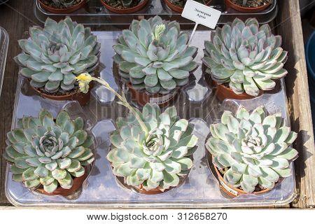 Echeveia Apus In Pots For Sale. Counter Of Flower Shop Indoor Plants. Non-intrusive Succulent