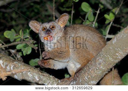 Nocturnal greater galago or bushbaby (Otolemur crassicaudatus) eating tree gum, South Africa