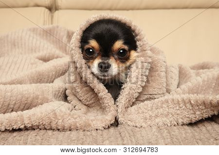Chihuahua Puppy Lying Under A Blanket On The Couch