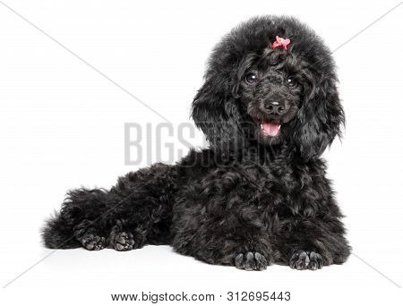 Happy Toy Poodle Puppy Graceful Lying On A White Background. Baby Animal Theme