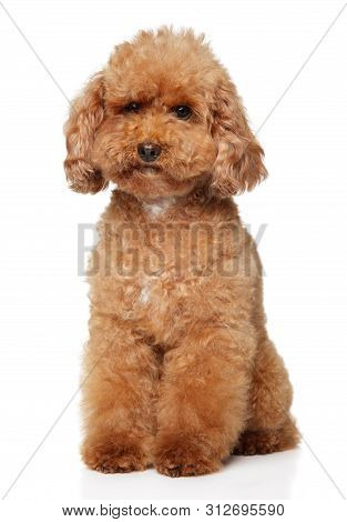Red Poodle Puppy Sits On White Background. Animal Themes