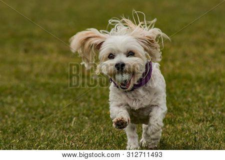 Bichon Havanais Running On Grass With Golf Ball