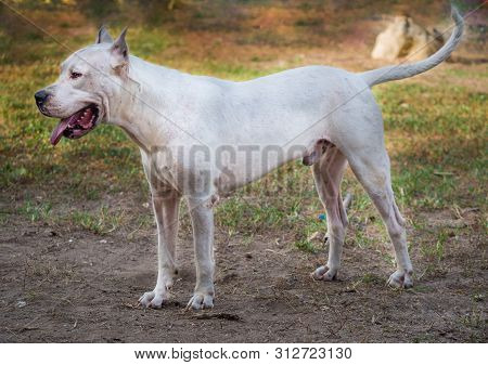 Dogo Argentino Dog Standing In Profile On The Ground
