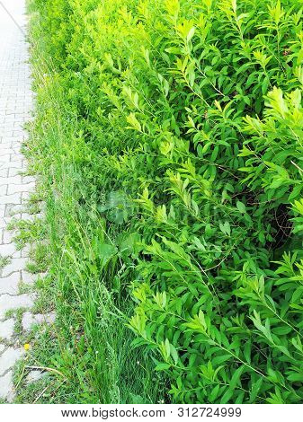Green Wall Of Plants In The Park. The Grass Forms A Dense, Impassable Fence At The Sidewalk.