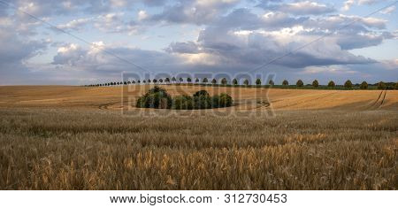 Field Of Mature Barley Lit By The Sunset Sun