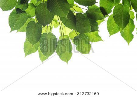Bodhi Leaves Isolated On White Background Or Peepal Leaf From The Bodhi Tree, Sacred Tree For Hindus